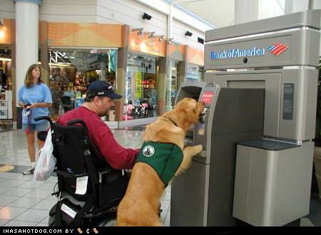 ATM,Bennett,goggie ob teh week,golden retriever,mall,service and assistance,service and assistance dogs,service dogs