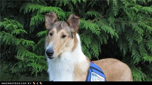 collie goggie ob teh week mixed breed Sable service and assistance service and assistance dogs service dogs