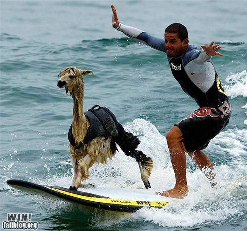alpaca,animals,beach,llama,surfing,surfs-up