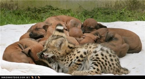 cat,kittehs r owr friends,puppies,rhodesian ridgeback,serval