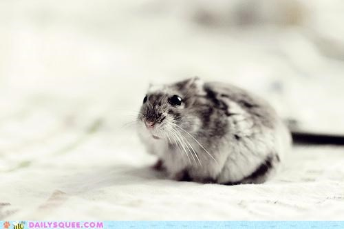 adorable charming demure do want dwarf hamster gimme gimme gimme hamster spoiled timid tiny - 5092410368