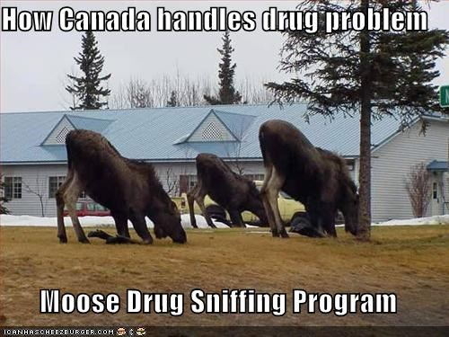 animals Canada drug sniffing drugs I Can Has Cheezburger moose