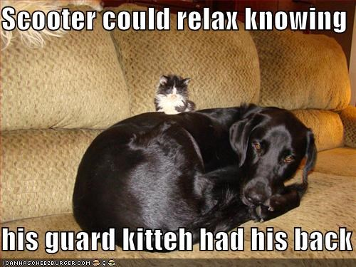 Black Lab,body guard,cat,couch,friends,guard,kitten,labrador retriever,nap time,protection,rest,sleeping