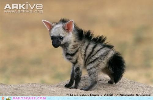 aardwolf adorable baby color cub ear ears explanation Hall of Fame pink pup squee spree - 5096191232