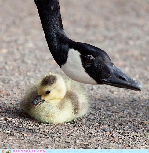 acting like animals eye goose gosling literalism lolwut Staring watching - 5096324352