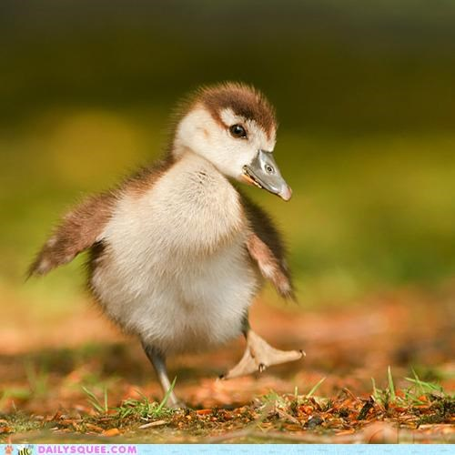 adorable baby duck duckling epiphany examining feet foot looking realization tiny