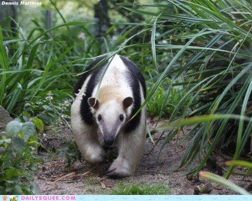 anteater giant anteater motion simple squee walking - 5096429056