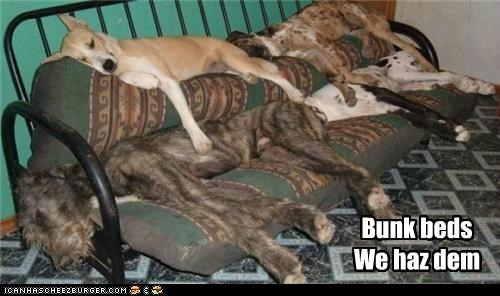 asleep,basenji,bed,bunk bed,irish wolfhound,mixed breed,nap time,resting,sleeping,whatbreed