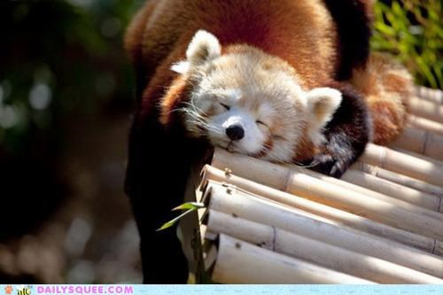 asleep best Hall of Fame nap time napping red panda sleeping spot sun sunbeam - 5100145408