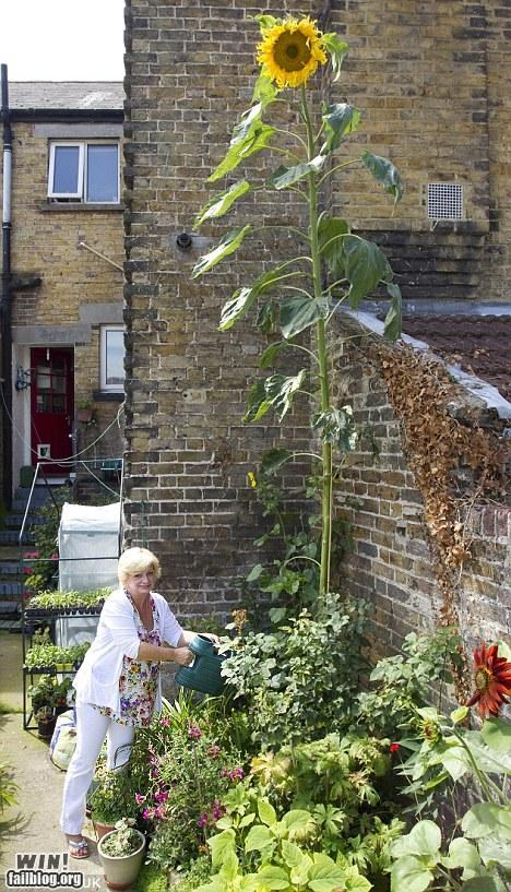 gardening huge plant sunflower tall