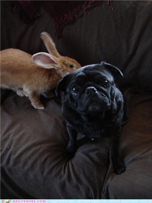 bunny friends friendship giant flemish rabbit Interspecies Love pug rabbit reader squees - 5102410496