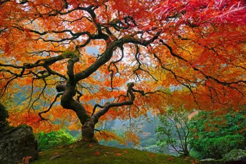 japanese maple,north america,orange,oregon,red,united states,yellow