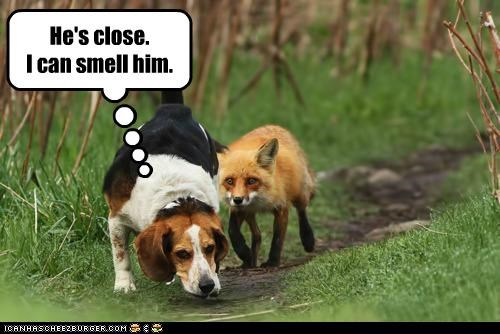 beagle,fox,Fox and the Hound,hunting,nature,oblivious,outdoors,tracking