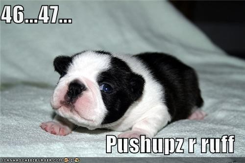 boston terrier,exercise,fitness,healthy,puppy,push ups,workin-on-my-fitness