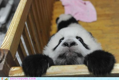 acting like animals afraid climbing crib cub do not want expression Hall of Fame panda panda bear the horror