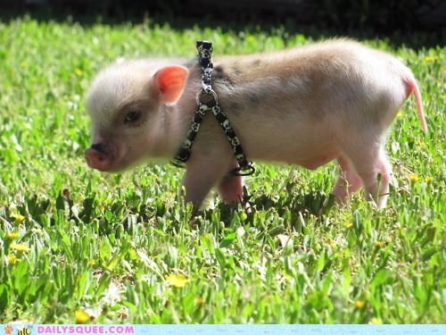 awesome baby collar Hall of Fame harness pig piglet - 5108248320