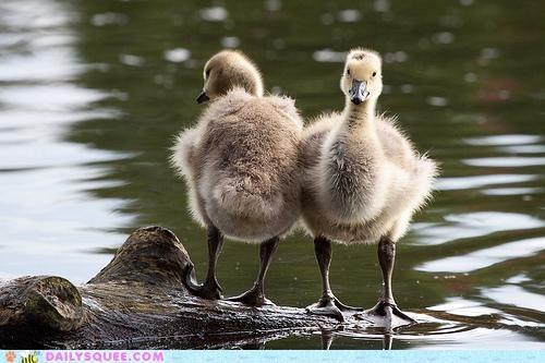 Babies,baby,back to back,duel,geese,goose,gosling,goslings
