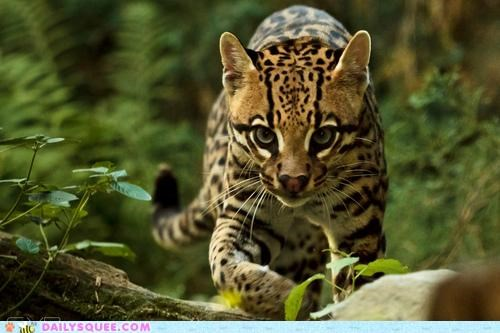 adorable eyes Hall of Fame hypnotic lost no1curr ocelot prowl prowling stalking