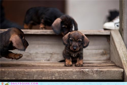 afraid,dachshund,dachshunds,first,Hall of Fame,puppy,stairs,step,stepping