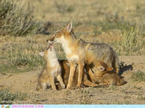 Babies baby best drinking fox foxes kit kits milk mother noms nursing source - 5108279040