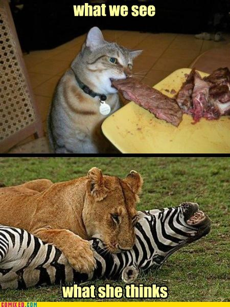animals cat eat kill lion meat Nala - 5116636672