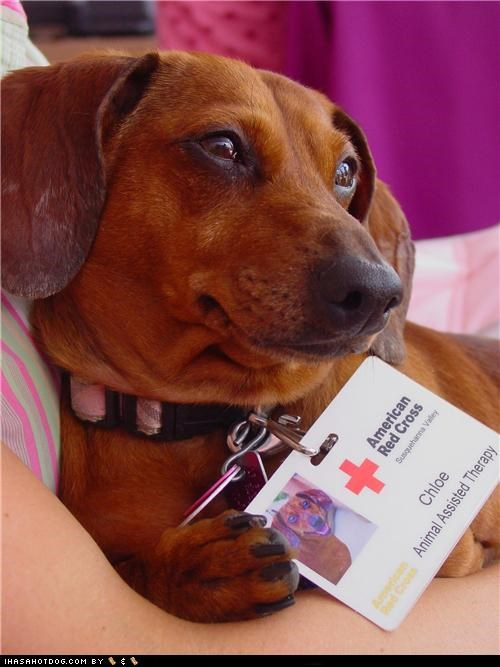 american red cross,animal assistance therapy,dachshund,goggie ob teh week,therapy dog,working dog