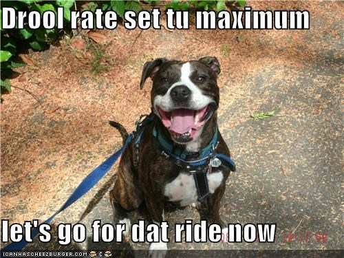 car ride drool happy happy dog pit bull pitbull ride smile smiles smiling - 5118236416