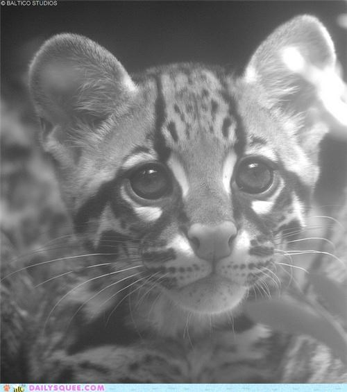 baby,black and white,bonus,cub,film noir,ocelot,squee spree