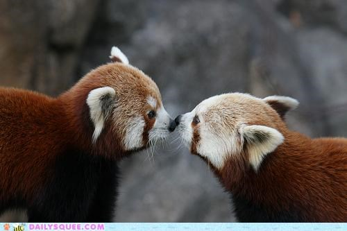 adorable blushing color comparison Hall of Fame KISS kissing lipstick lovely red panda red pandas rouge touching - 5118971392