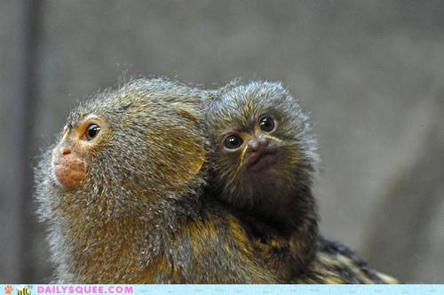 adorable,baby,marmoset,marmosets,parent,proportion,pygmy marmoset,scale,size,tiny