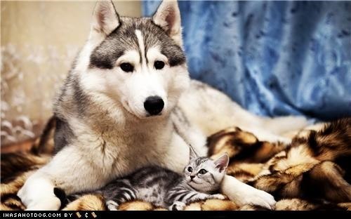 cat,friends,husky,kitteh,kittehs r owr friends,kitten