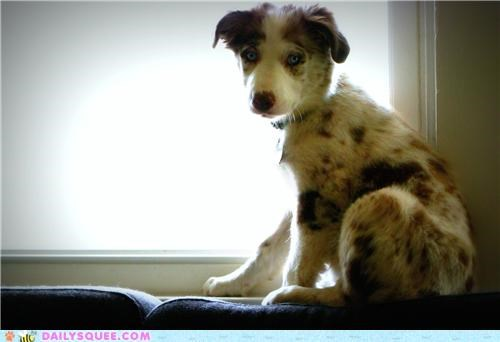 adorable australian shepherd baby blue-eyed dogs eyes face irresistible puppy reader squees Staring - 5120979968