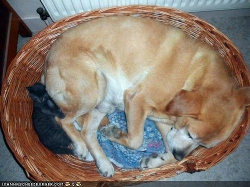 bed comfort is relative dogs goggies goggies r owr friends Interspecies Love nap sleeping tight squeeze - 5121033728