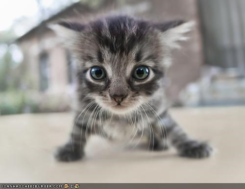 cyoot kitteh of teh day eyes learning tiny walking - 5122736128