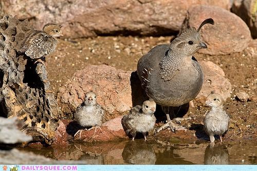 Babies baby chick chicks comparison doug mother quail quail man quails whatsit whatsit wednesday - 5123062528