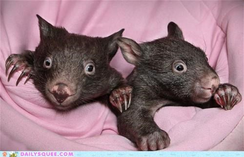Babies baby batman exclamation Hall of Fame pun wide eyed Wombat wombats