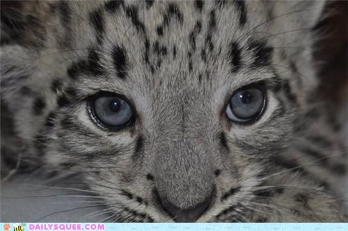 Babies baby cub cubs Hall of Fame snow leopard snow leopards two - 5126238208