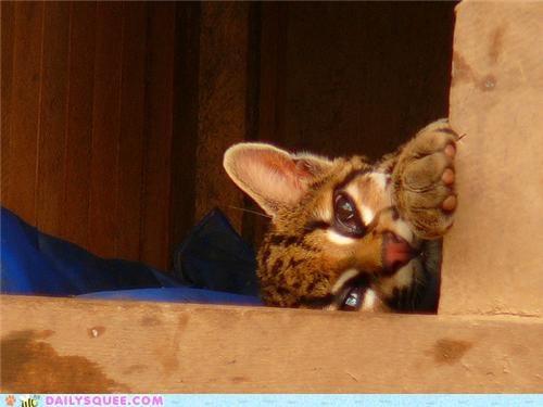 baby cub most ocelot peekaboo peeking Precious squee spree - 5127668736