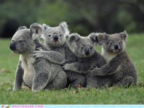 acting like animals conga dancing Hall of Fame human jealous koala koalas line mocking question snooty taunting - 5127872768