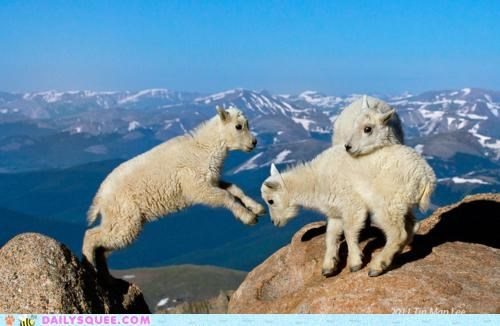 Babies baby calf calfs Hall of Fame jump jumping kierkegaard leap Leap of Faith mountain goat mountain goats søren kierkegaard