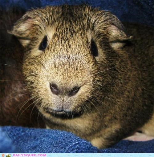guinea pig not rabbit reader squees reference - 5128139776