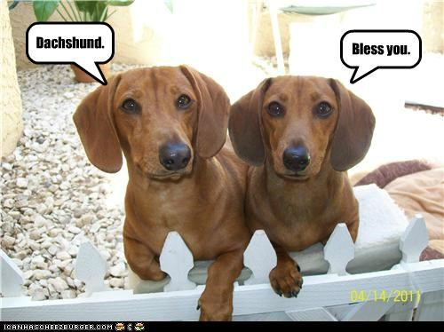 Dachshund. Bless you.