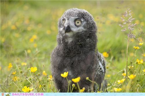 Babies baby barn owl contest Owl owlet owlets owls poll snowy owl squee spree - 5131517184