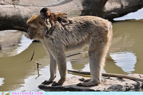 baby carrying clinging clutching crossing holding macaque macaques parent river safe safety