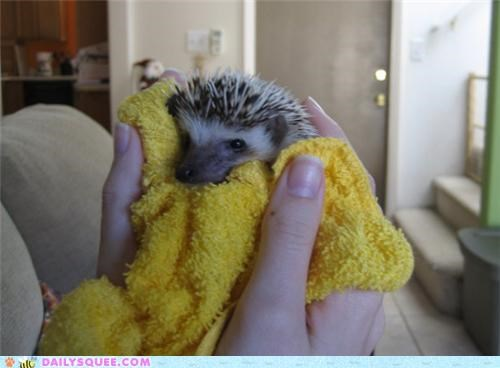 after bath cuddling cuddly cute grumpy hedgehog reader squees - 5131687936