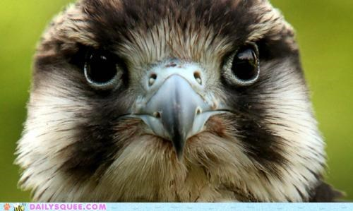 baby beak cheeky chick closeup falcon - 5140285952