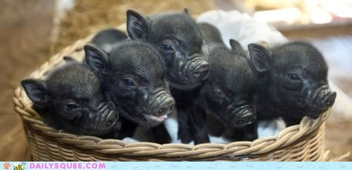 all black Babies baby coloration pig piglet piglets rare - 5141156864