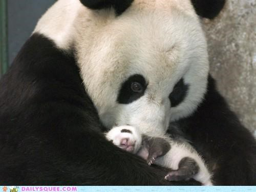 adorable,cub,cuddling,Hall of Fame,holding,mother,panda,panda bear,panda bears,snuggling,speechless