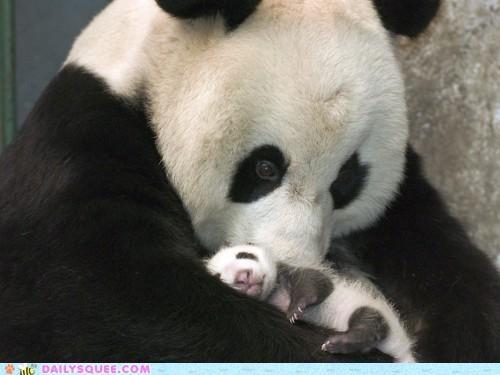 adorable cub cuddling Hall of Fame holding mother panda panda bear panda bears snuggling speechless - 5141576960