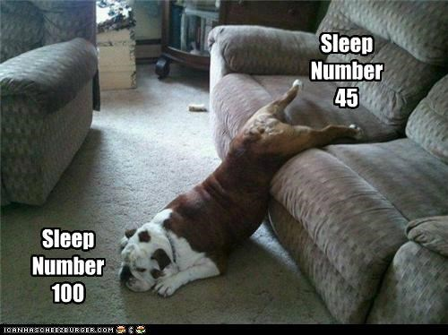 asleep bull dog couch oops silly dog sleep sleep number